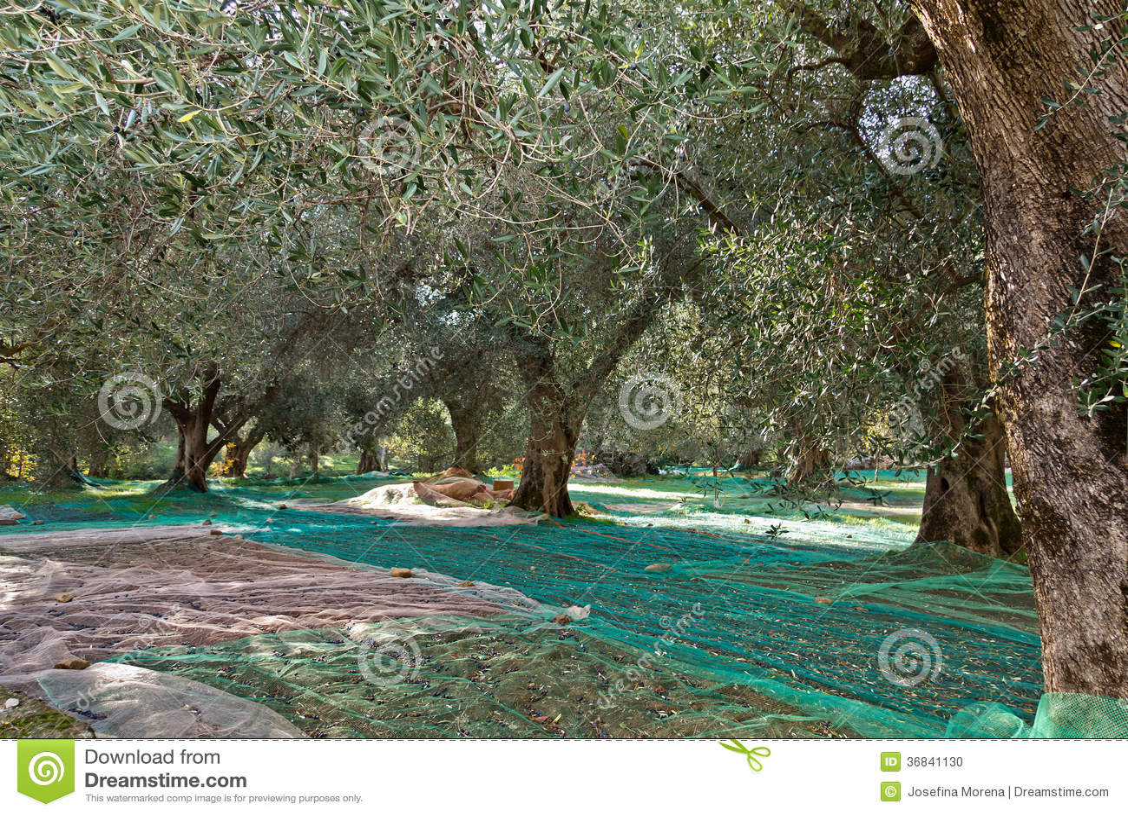 橄榄色的收获