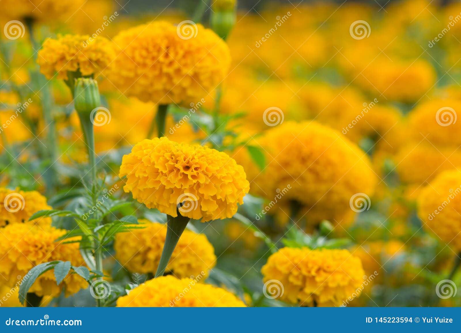 橙色万寿菊开花