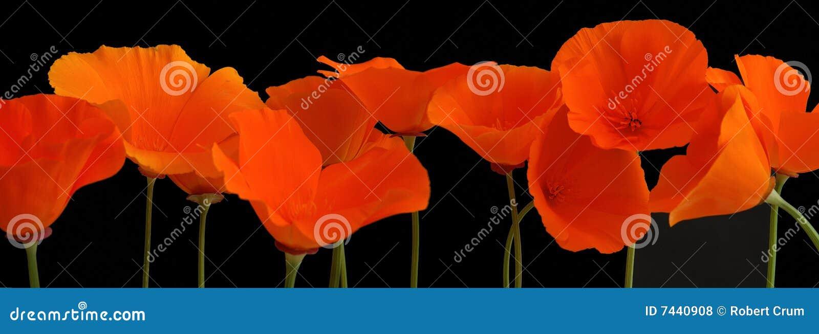 橙色全景鸦片