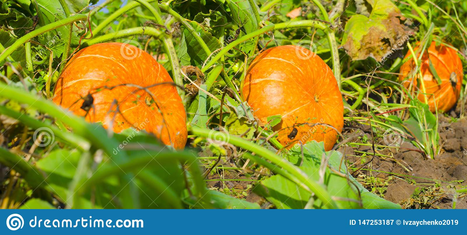 橙色南瓜在室外农夫市场上 南瓜补丁