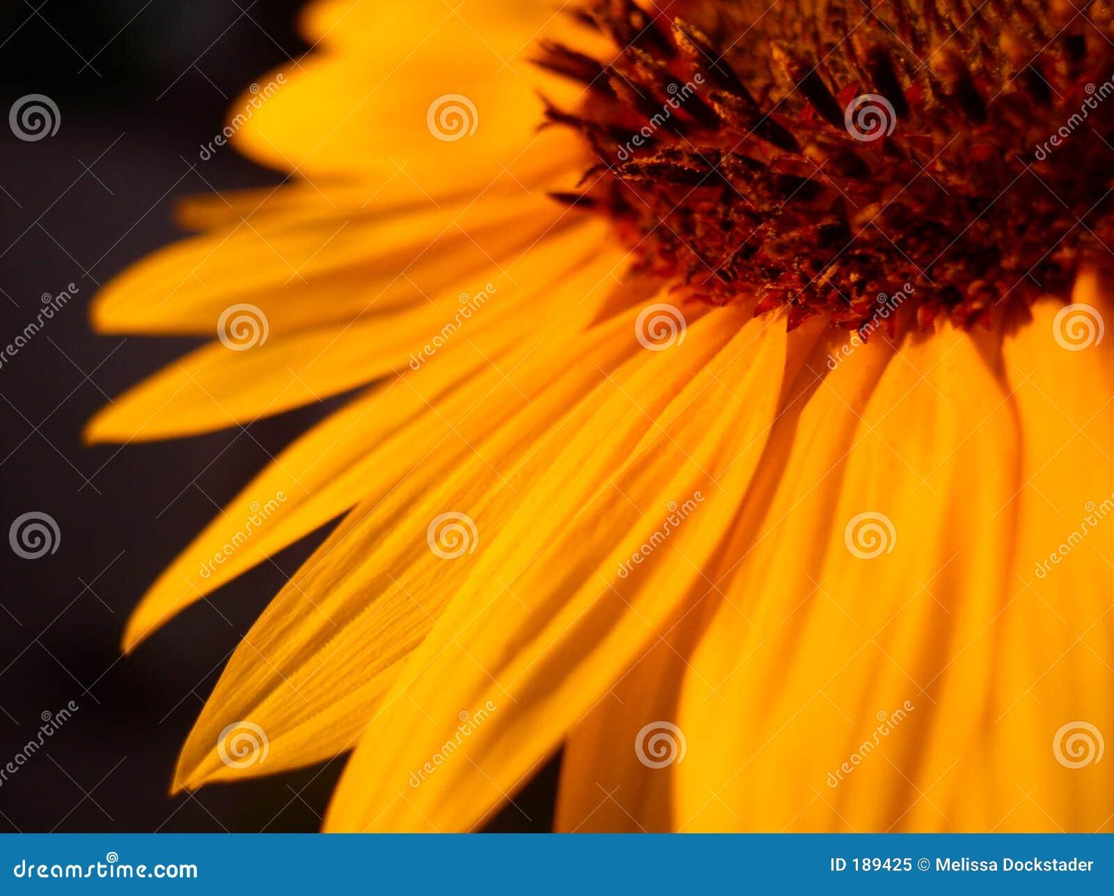橙色向日葵