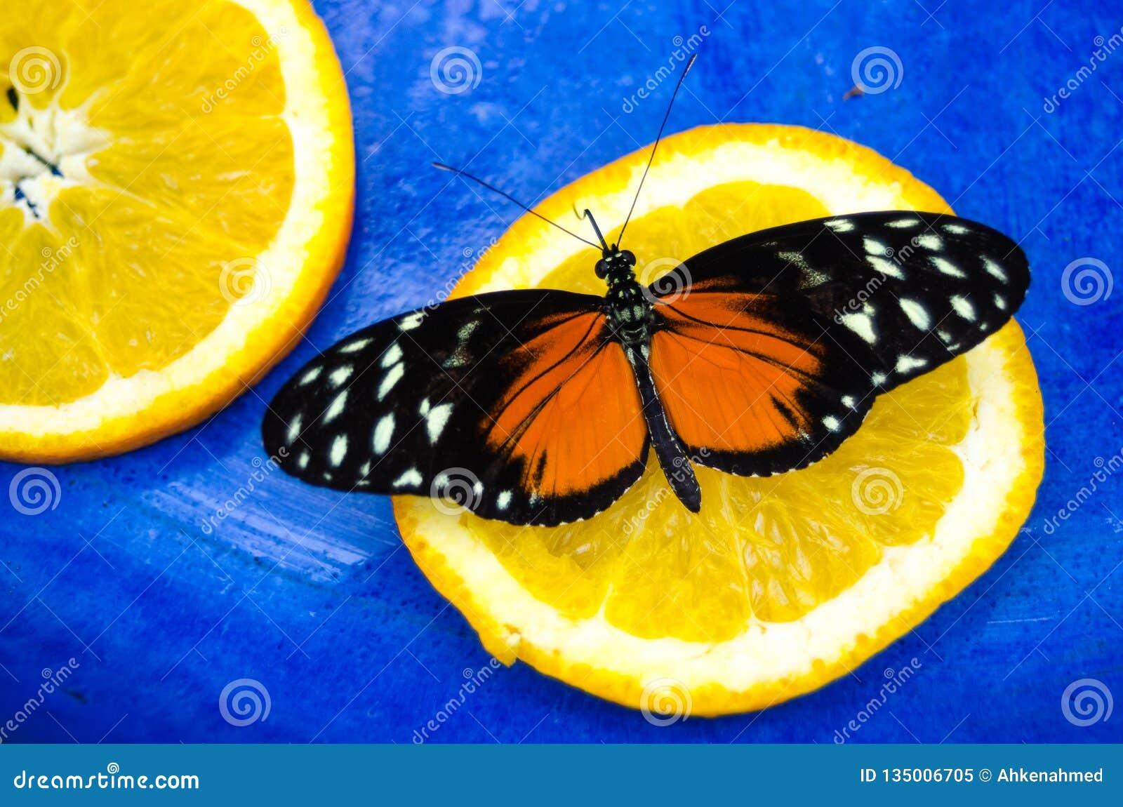 橙色和黑,老虎Longwing Heliconius hecale蝴蝶