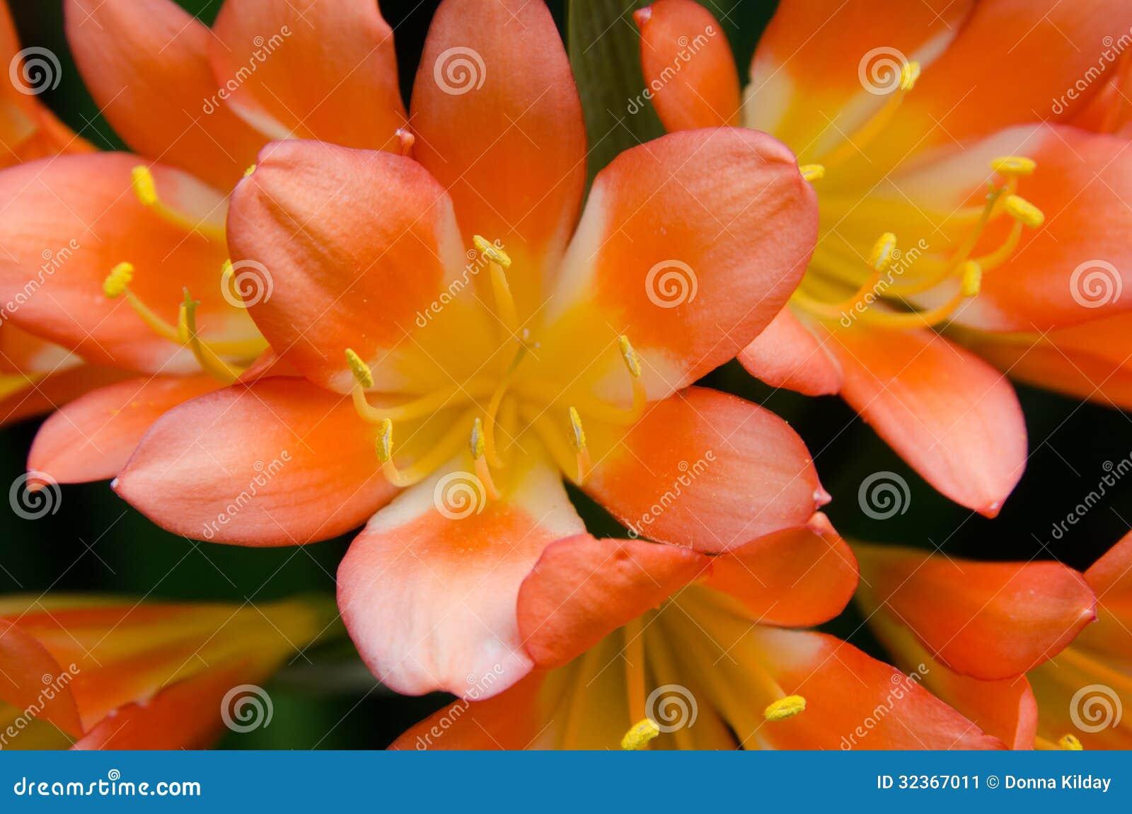 橙色和黄色热带百合