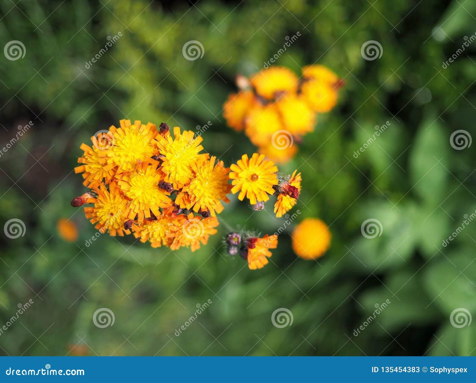 橙色在绽放的水兰属的植物花
