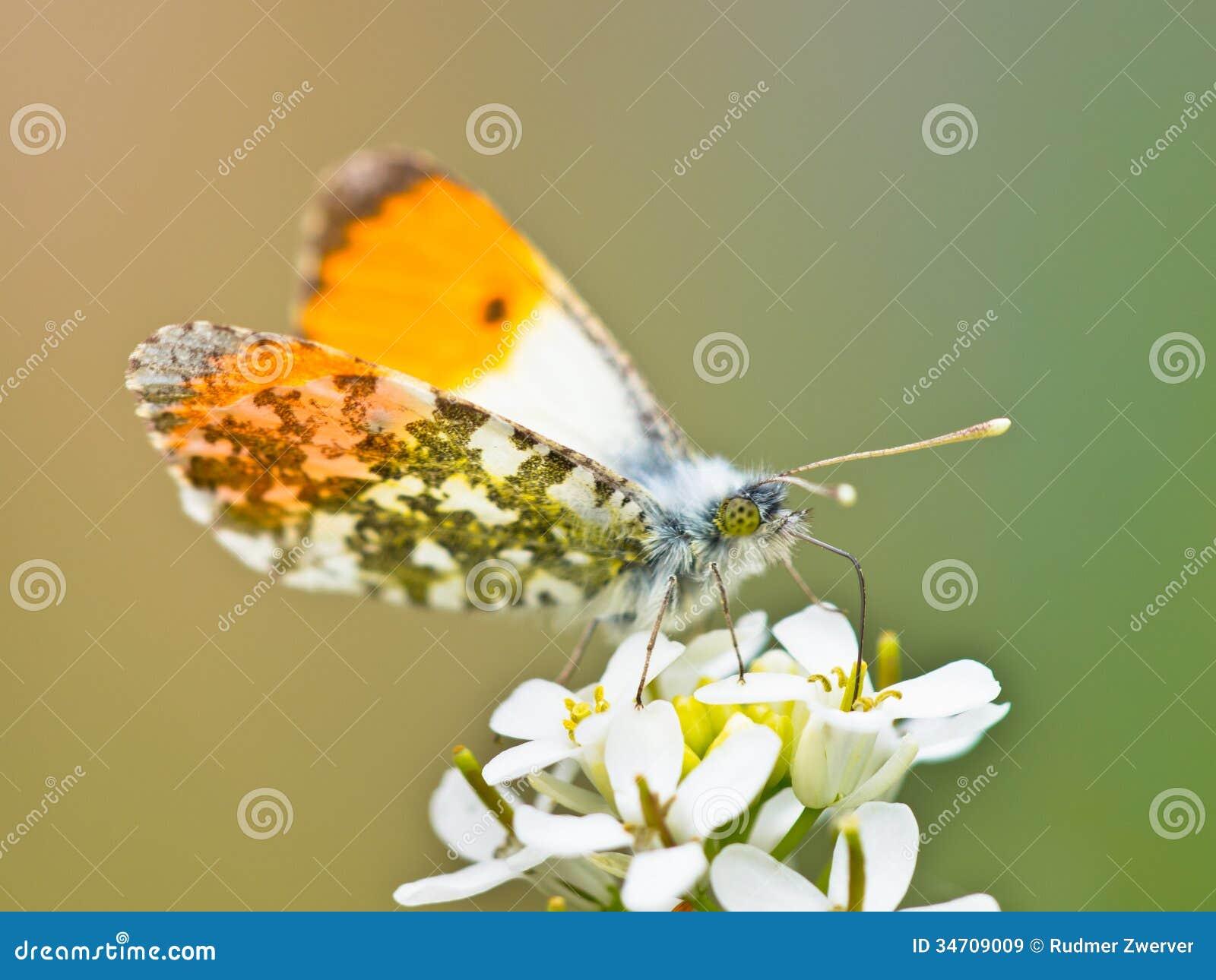 橙色技巧蝴蝶