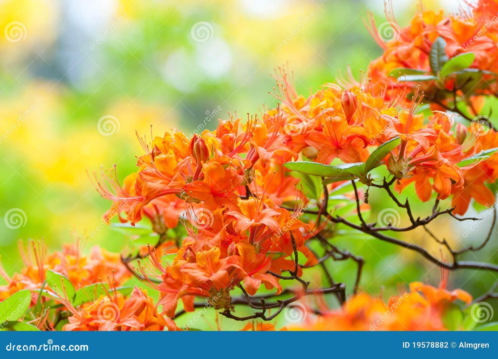 橙色杜鹃花