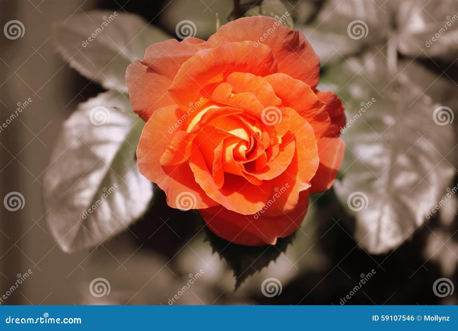 橙色罗斯-被定调子的乌贼属