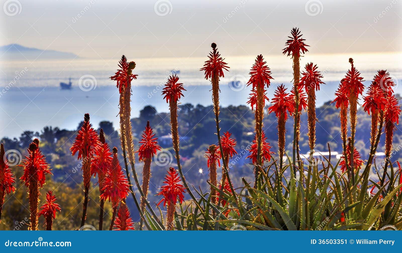 橙色芦荟仙人掌早晨太平洋风景石油平台