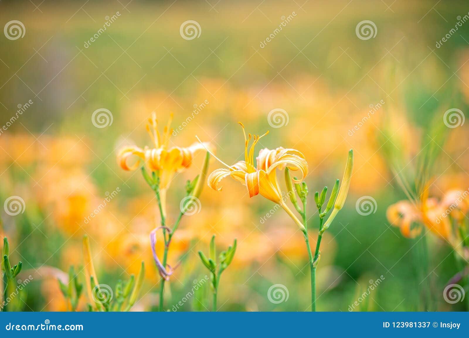 橙色黄花菜flowerTawny黄花菜绽放