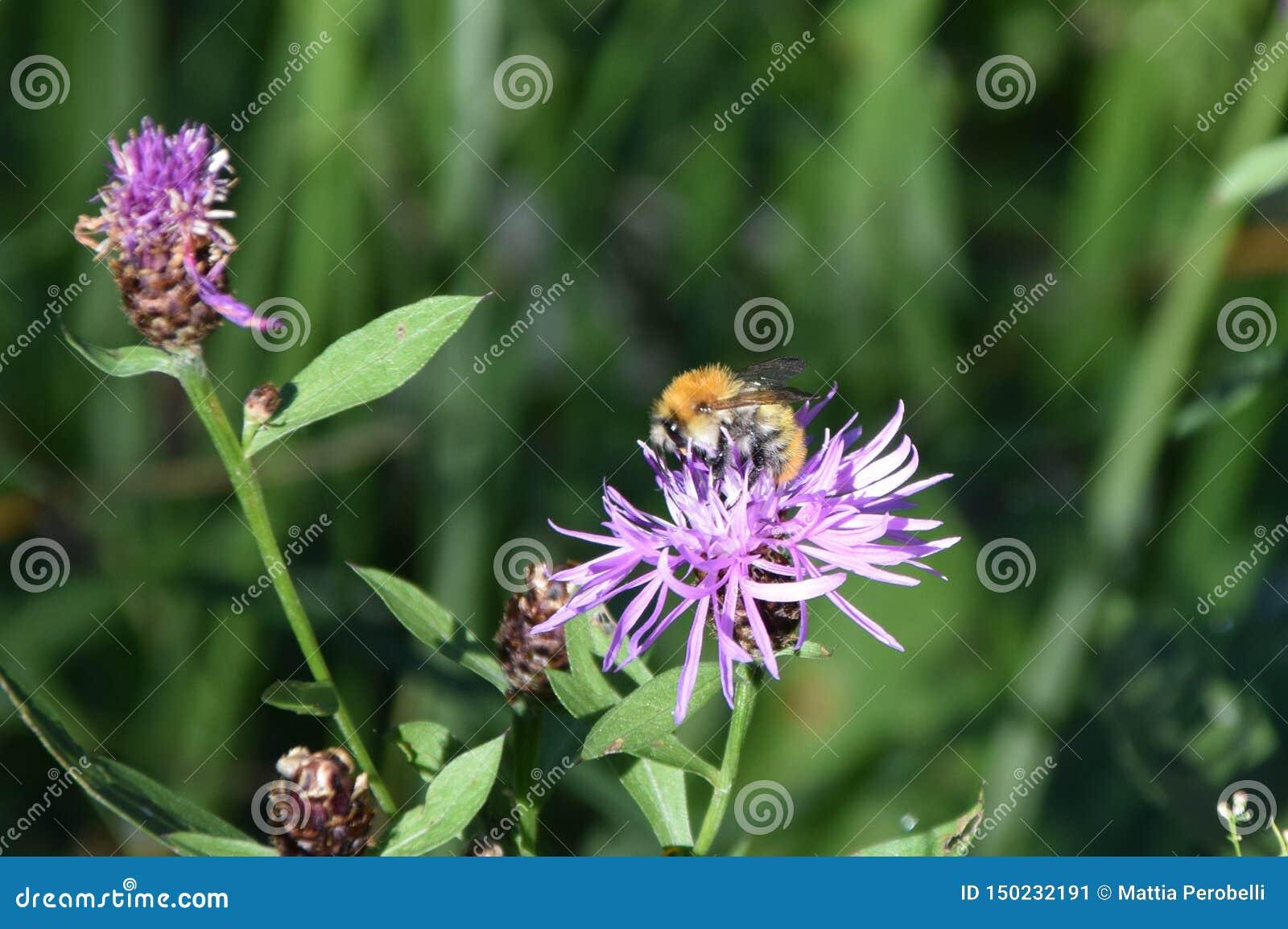 橙色黑色蜜蜂在花放置