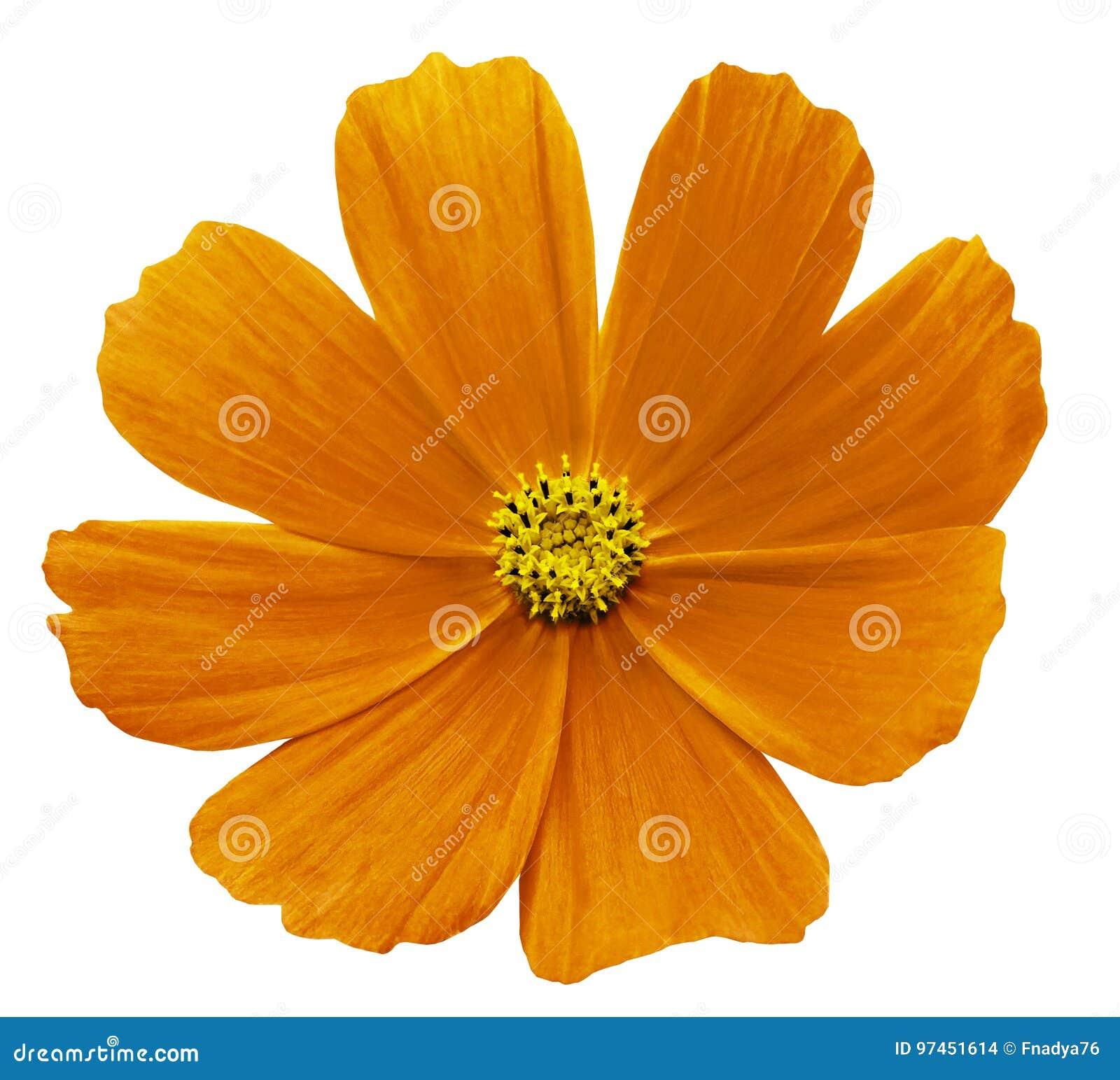 橙黄色的花Kosmeja白色隔绝了与裁减路线的背景 没有影子 特写镜头