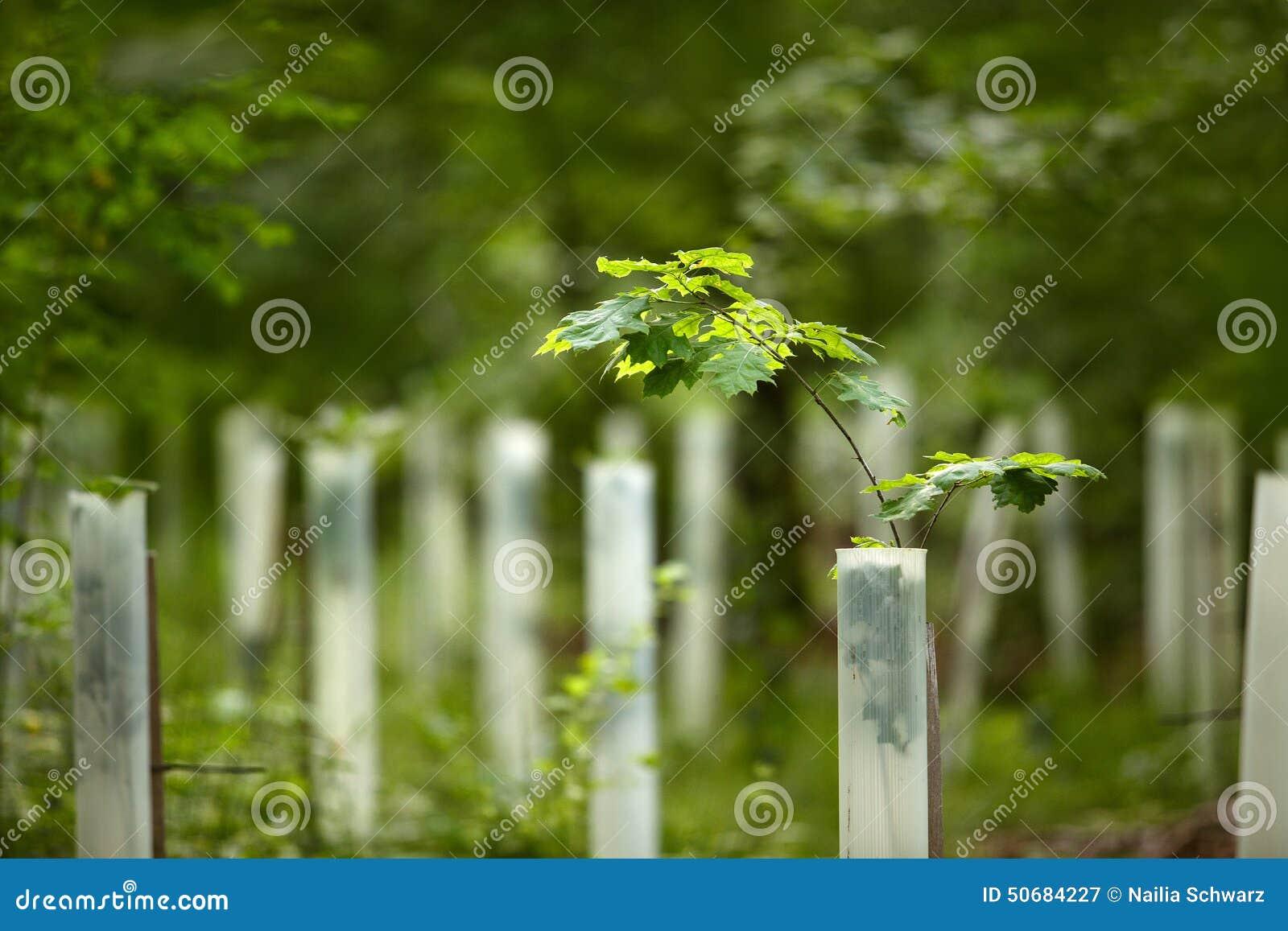 Download 橡木树苗在森林里 库存图片. 图片 包括有 树苗, 夏天, 森林, 橡木, 结构树, 再造林, 叶子, 保护 - 50684227