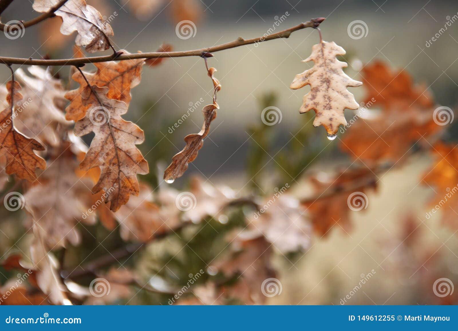 橡树在秋天离开与水下落