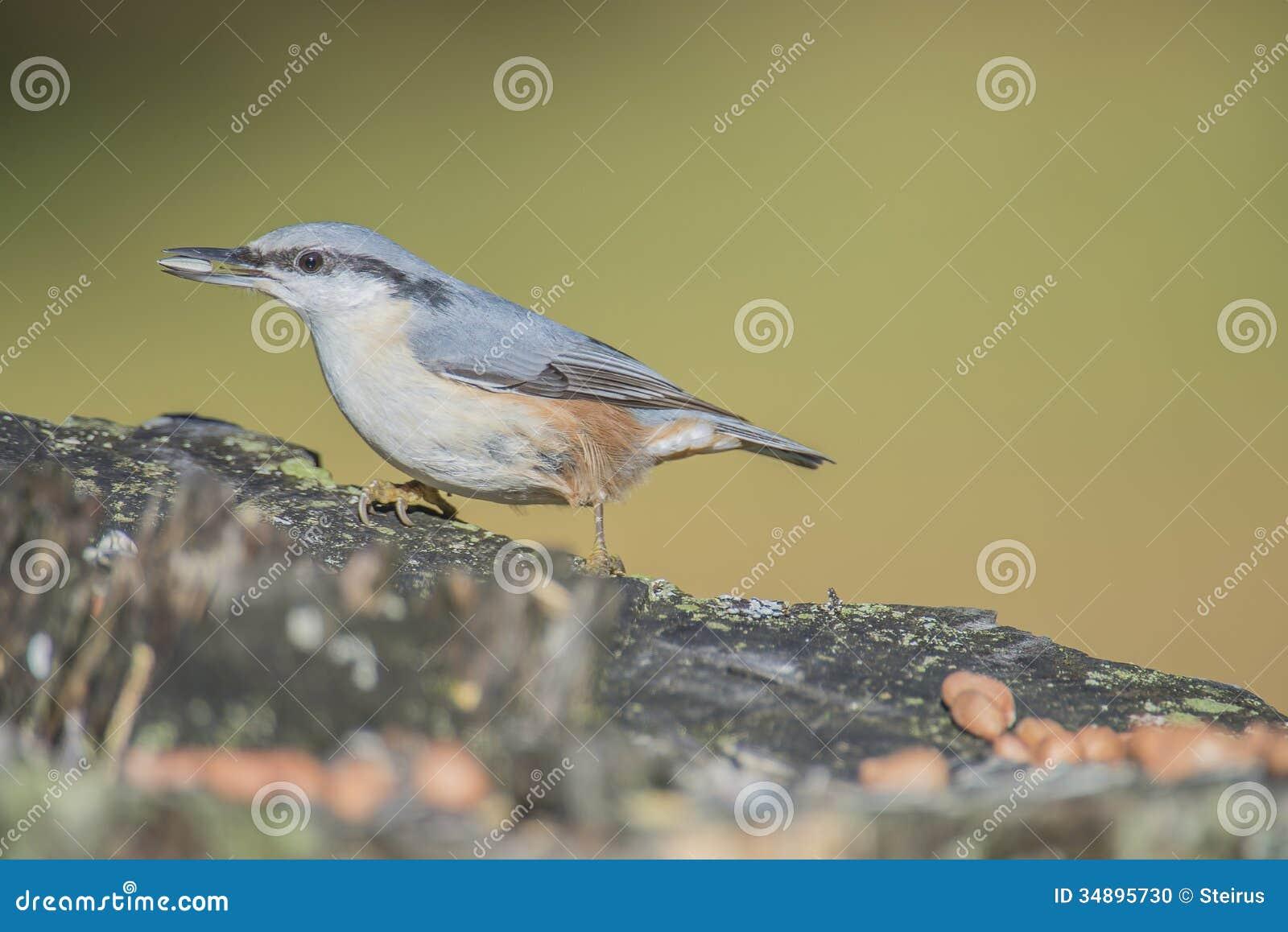 欧亚五子雀, (五子雀类europaea)在树桩