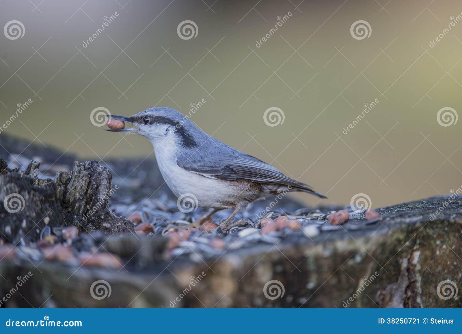 欧亚五子雀(五子雀类europaea)