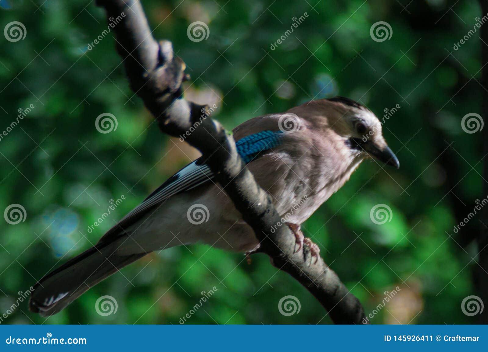 欧亚混血人杰伊 Garrulus glandarius 与蓝色翼的一只灰色棕色鸟坐分支反对绿色森林关闭背景