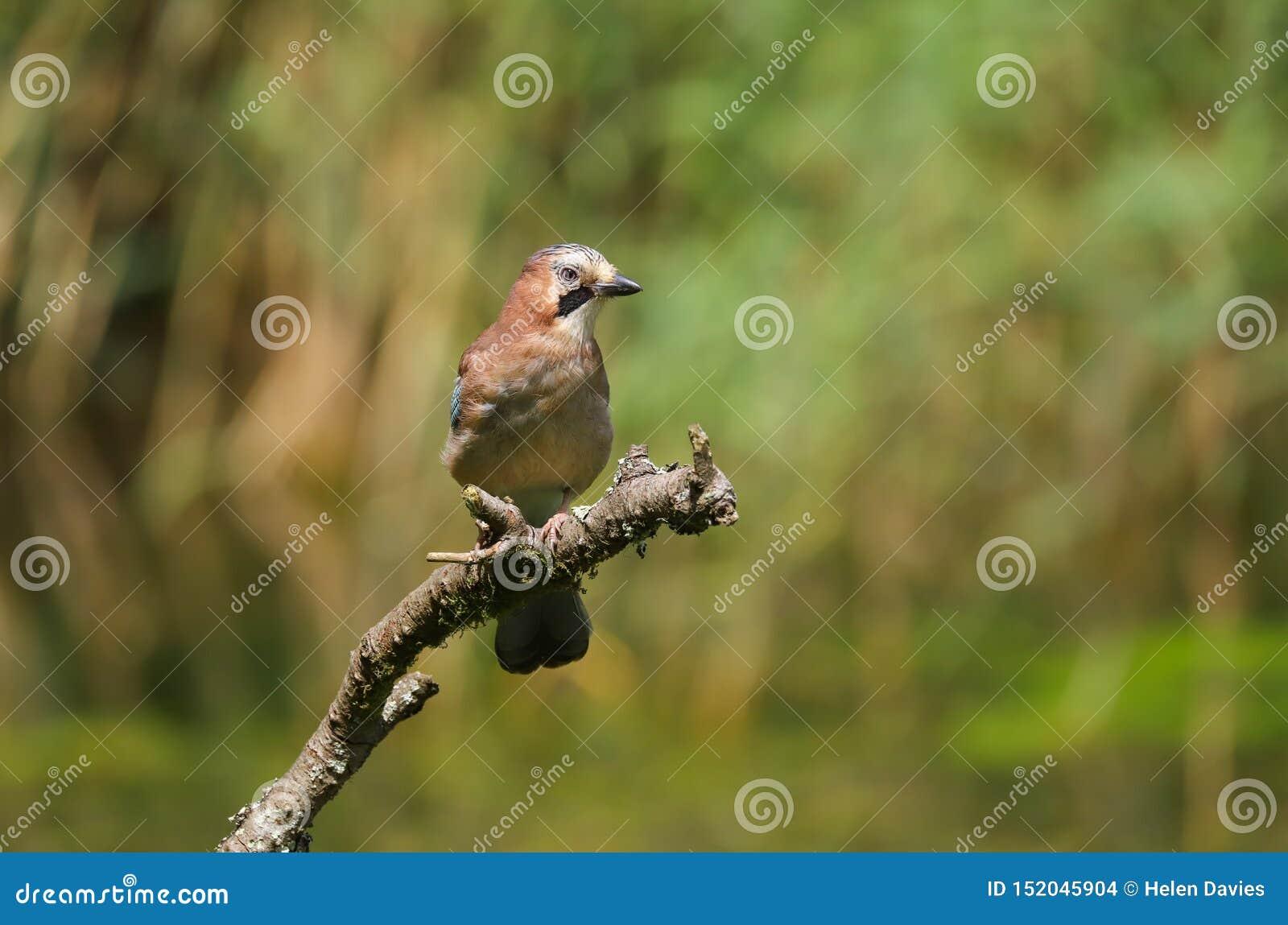 欧洲人杰伊Garrulus glandarius鸟