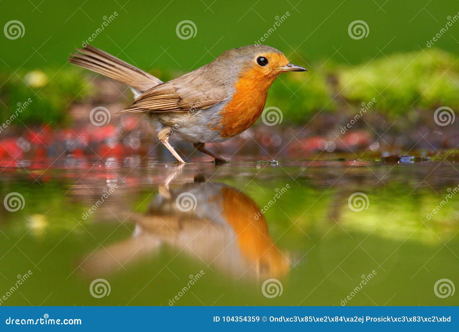 欧洲人罗宾,画眉rubecula,坐在水中,好的地衣树枝,鸟在自然栖所,春天,筑巢的蒂姆