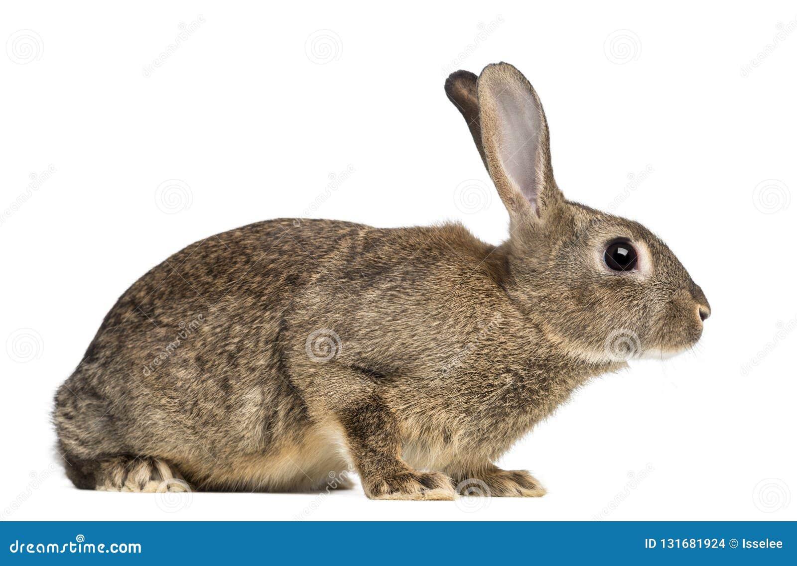 欧洲的兔子或公用兔子, 3个月