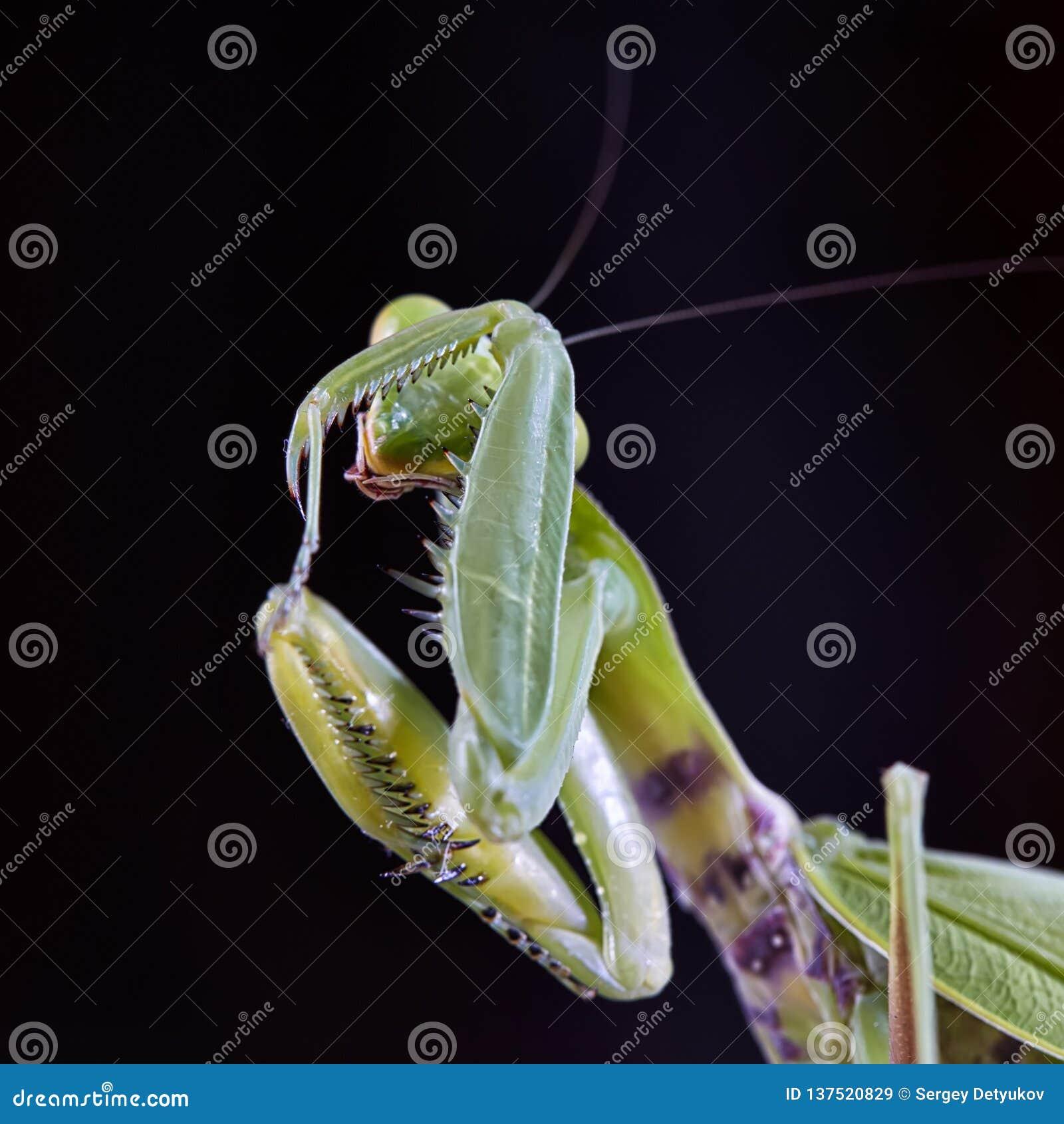 欧洲螳螂螳螂religiosa的特写镜头