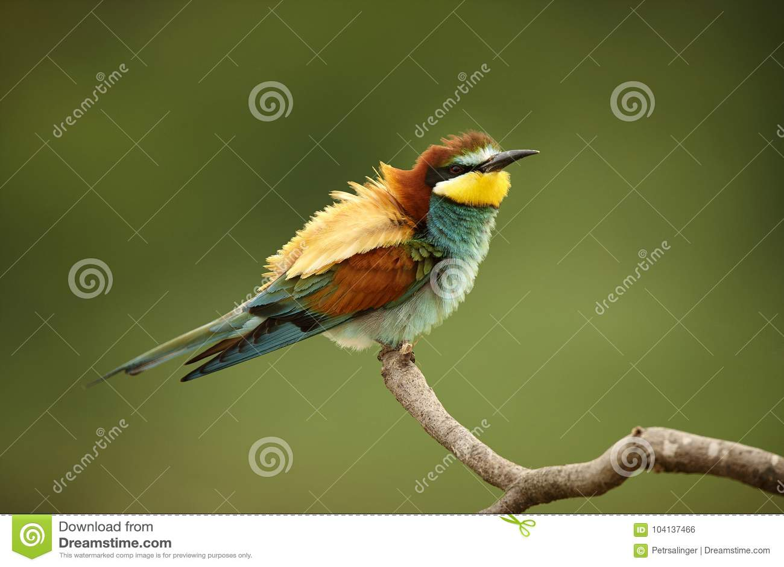 欧洲食蜂鸟坐分支