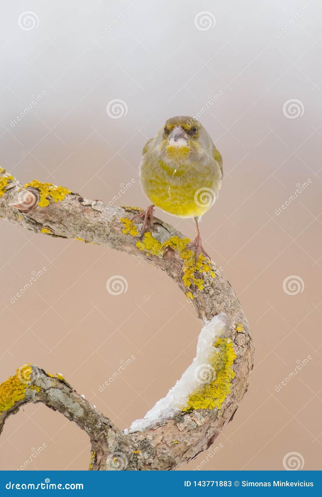 欧洲greenfinch -虎尾草属虎尾草属