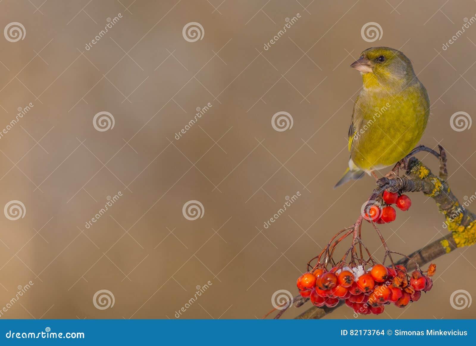 欧洲人Greenfinch - Carduelis虎尾草属