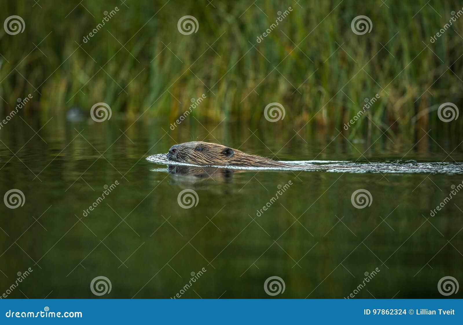 欧洲海狸,铸工纤维,游泳在河