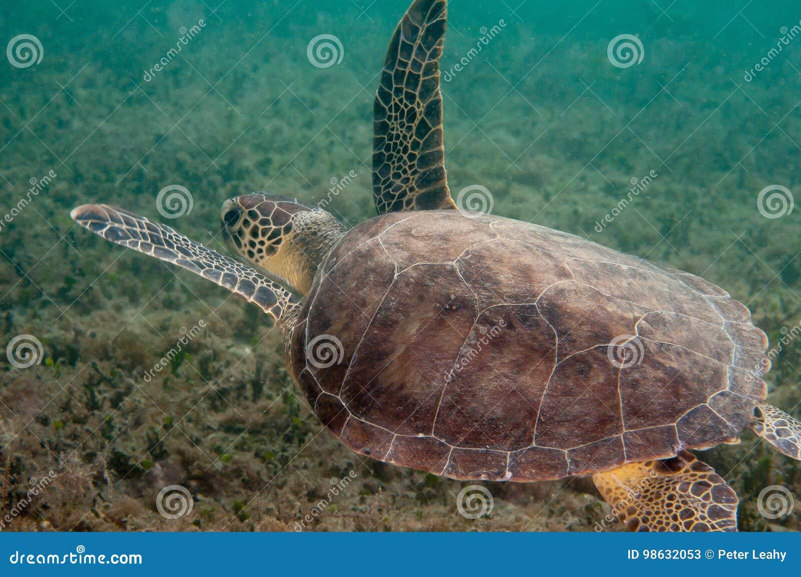 欧洲甜樱桃在一块礁石的海龟在南佛罗里达