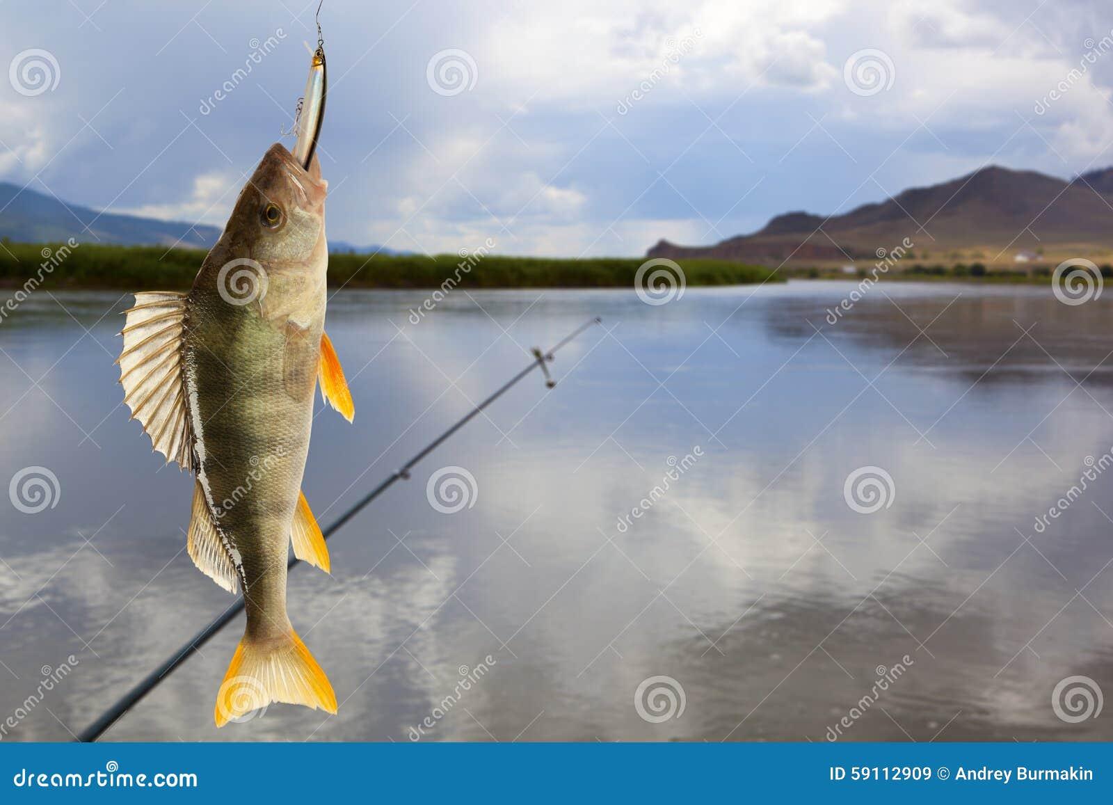 欧洲fluviatilis鲈鱼属栖息处