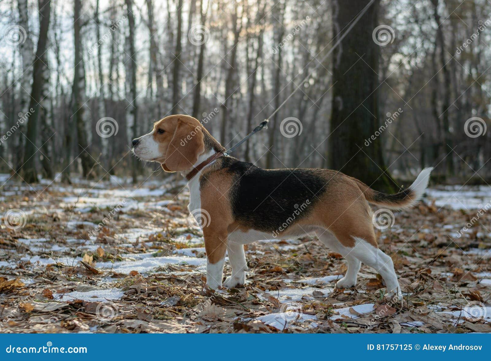 步行的小猎犬狗在森林
