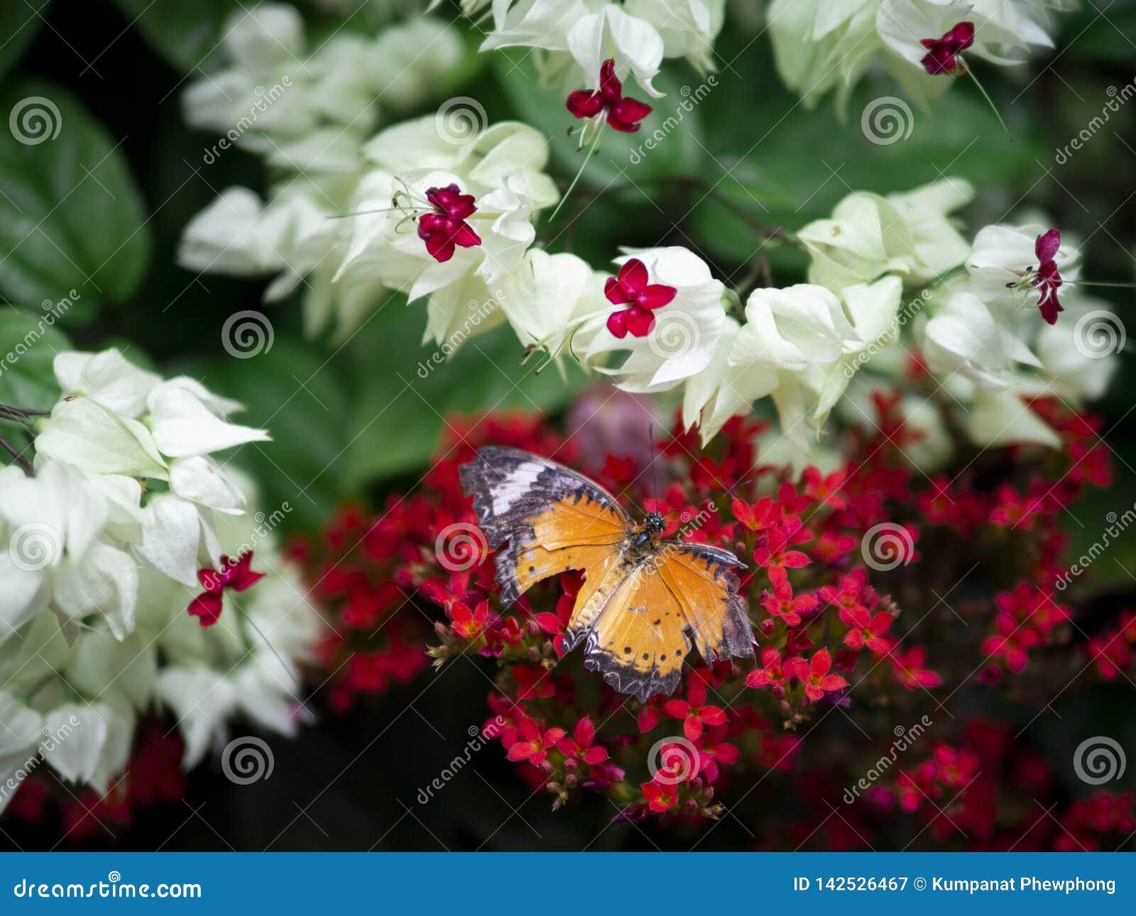 残破的翼橙色蝴蝶平原老虎丹尼亚斯chrysippus chrysippus的关闭在红色花有绿色庭院背景