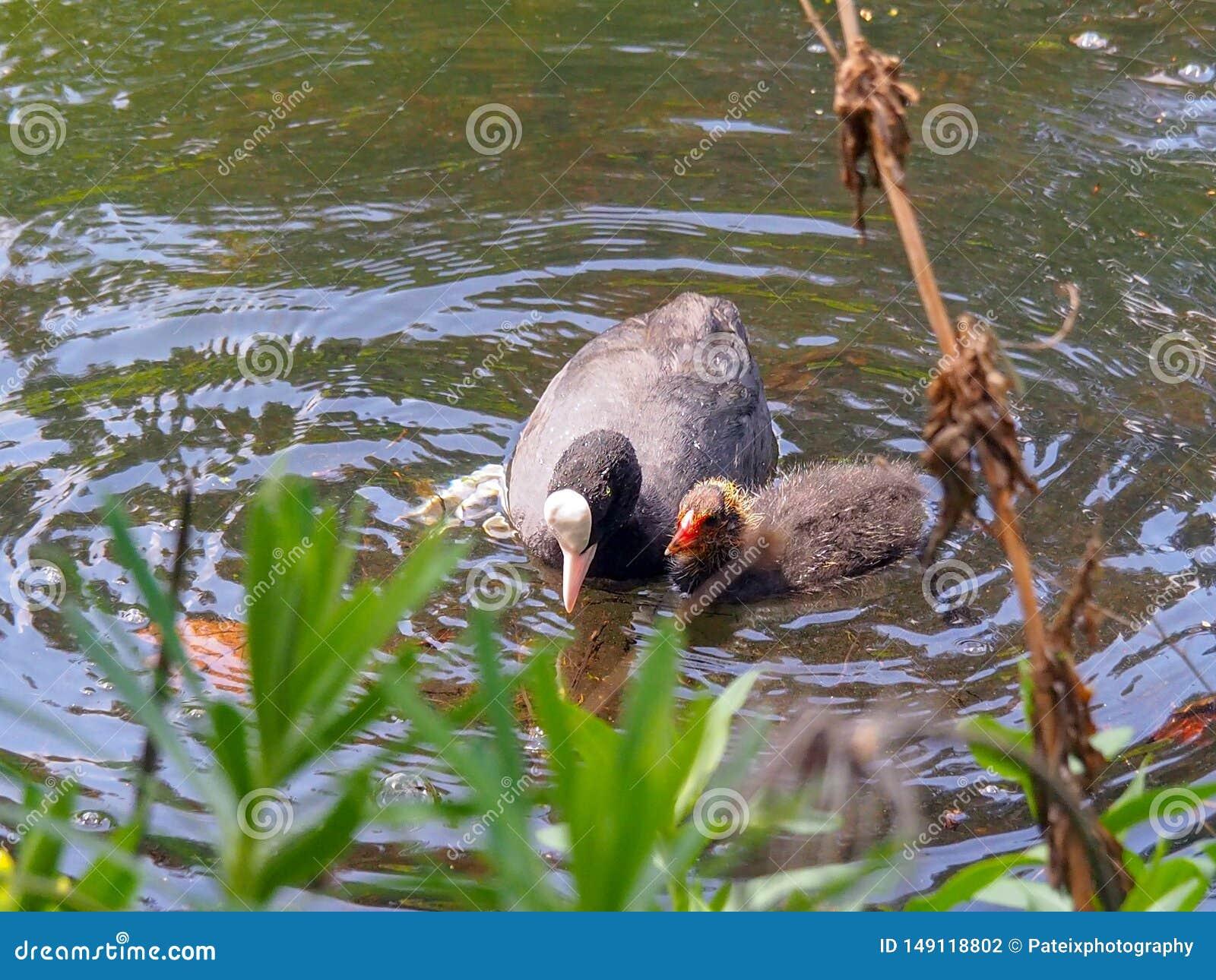 母亲与小鸡游泳的黑色老傻瓜在池塘在春天