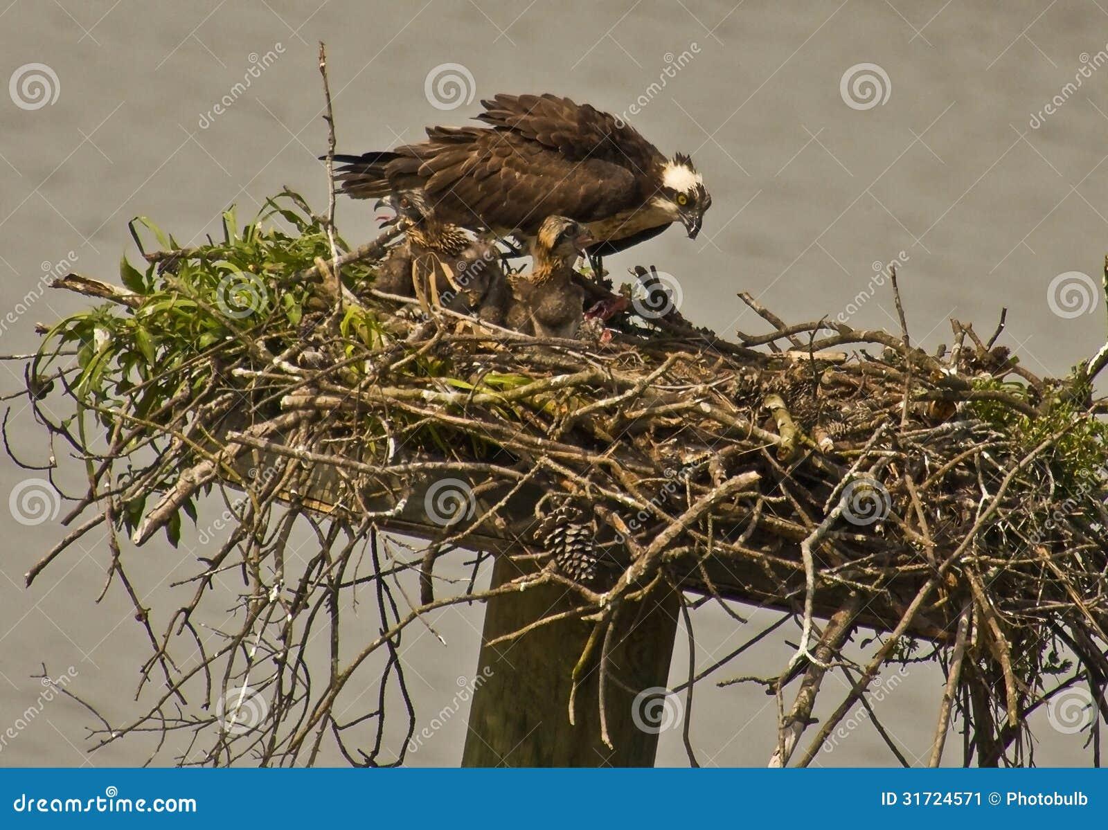 母亲白鹭的羽毛喂养她婴孩小鸡,英里河