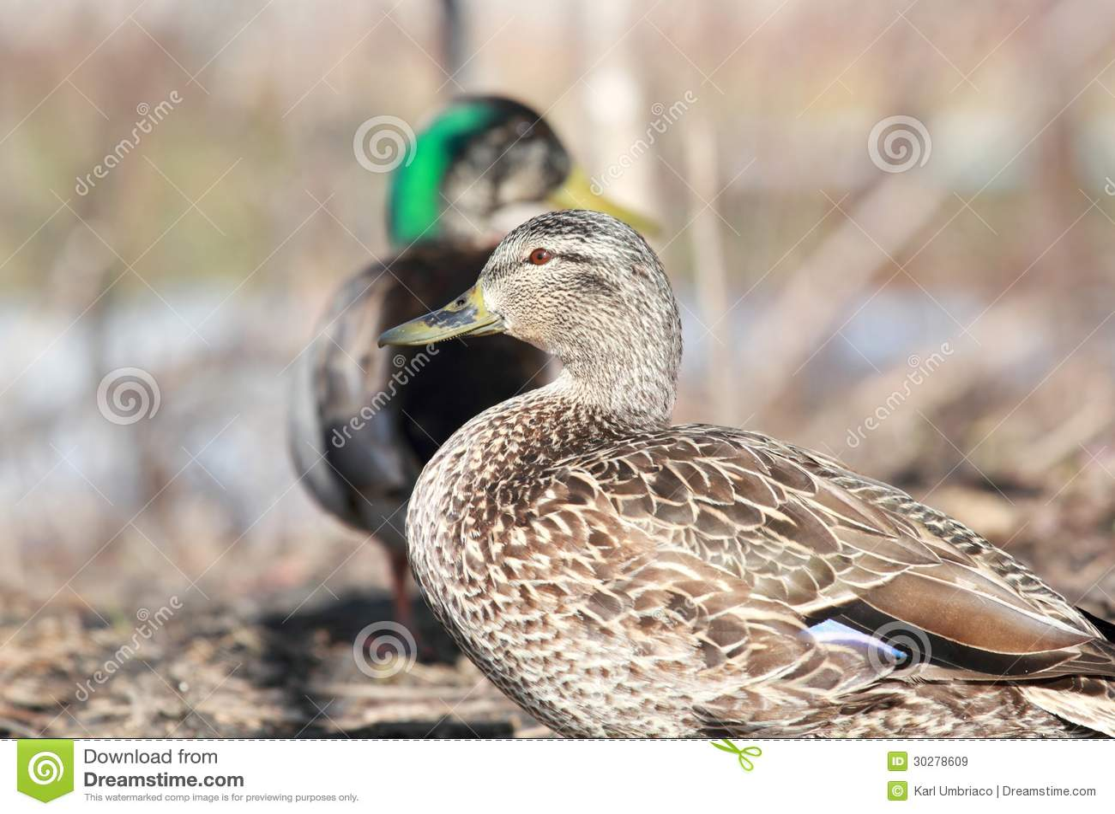 母和公鸭子
