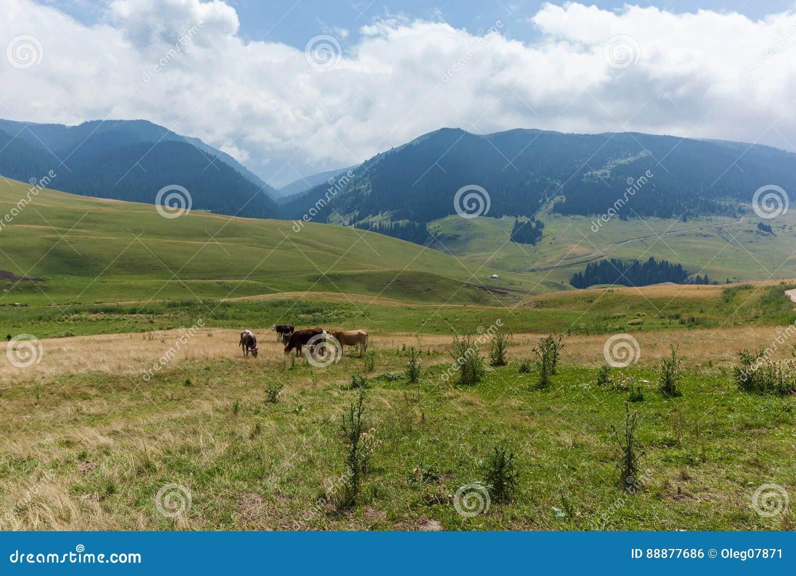 母牛吃草到草甸