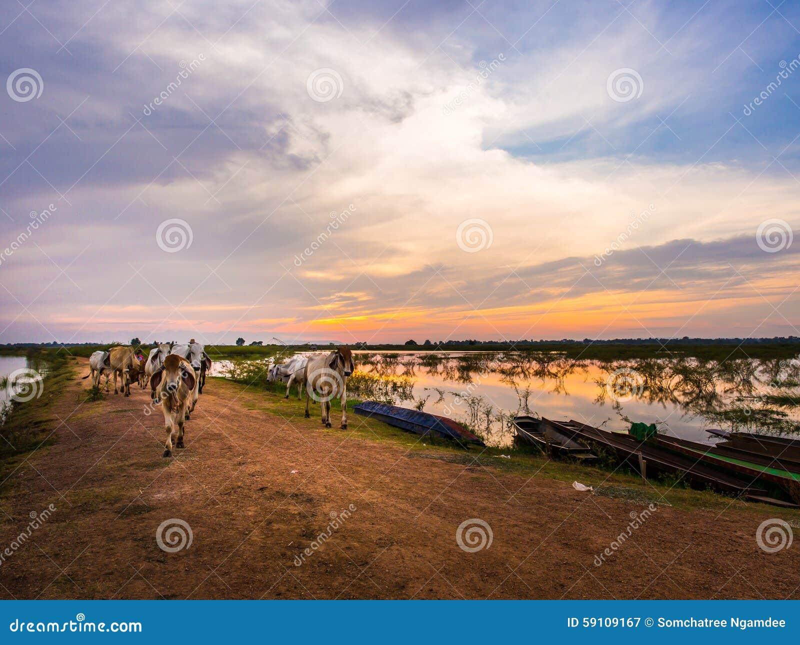 母牛和水牛农场在国家