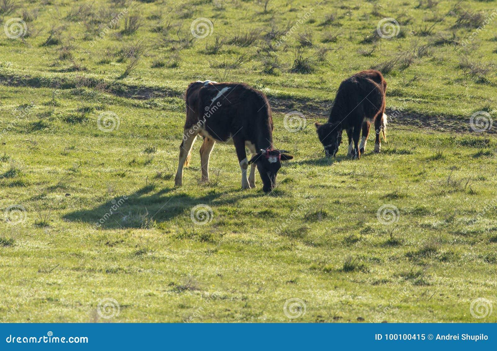 母牛在自然的牧场地吃草