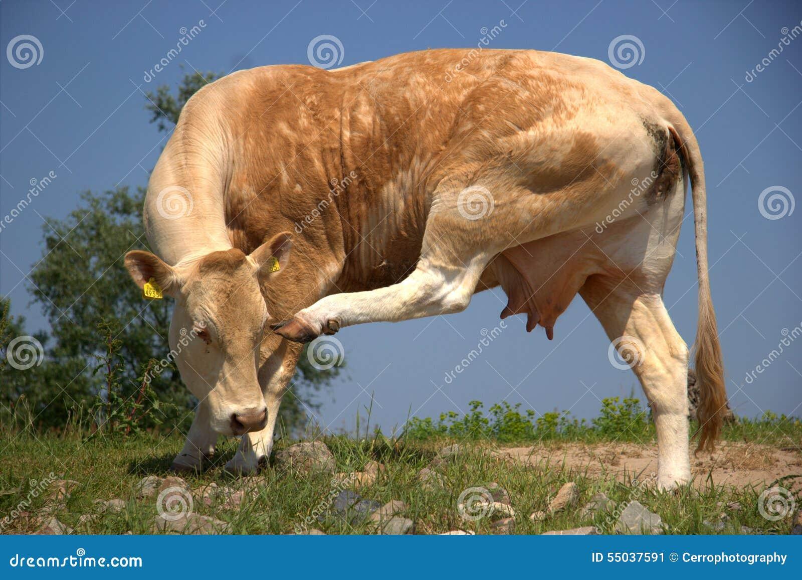 母牛抓他的头