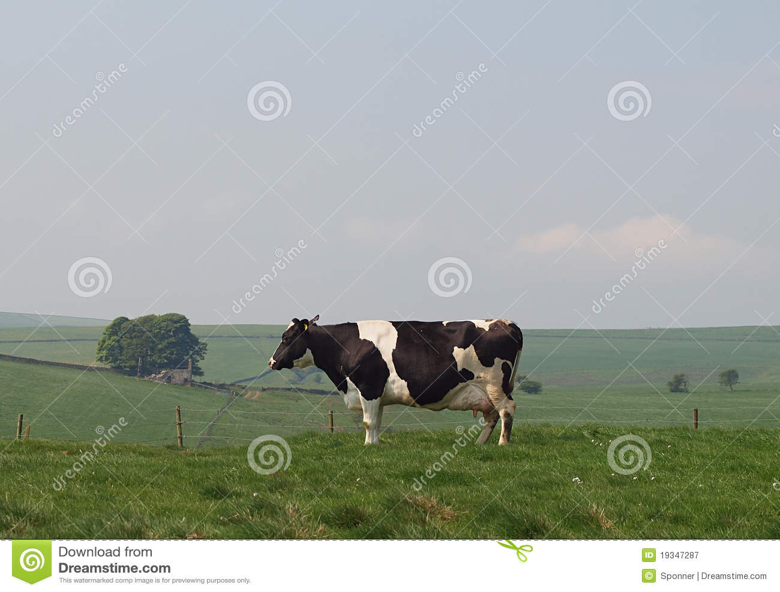母牛牛奶店黑白花牛草甸山地