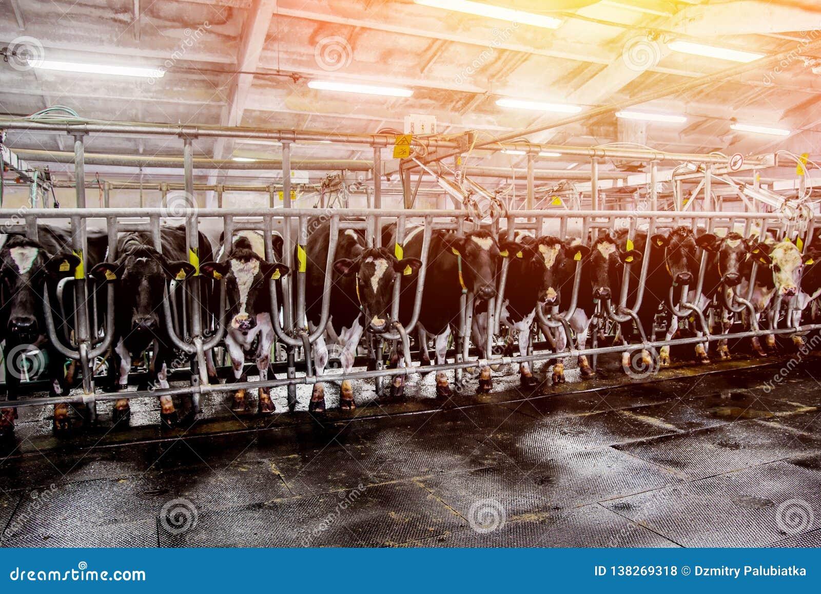 母牛牧群在农场的挤奶厅里
