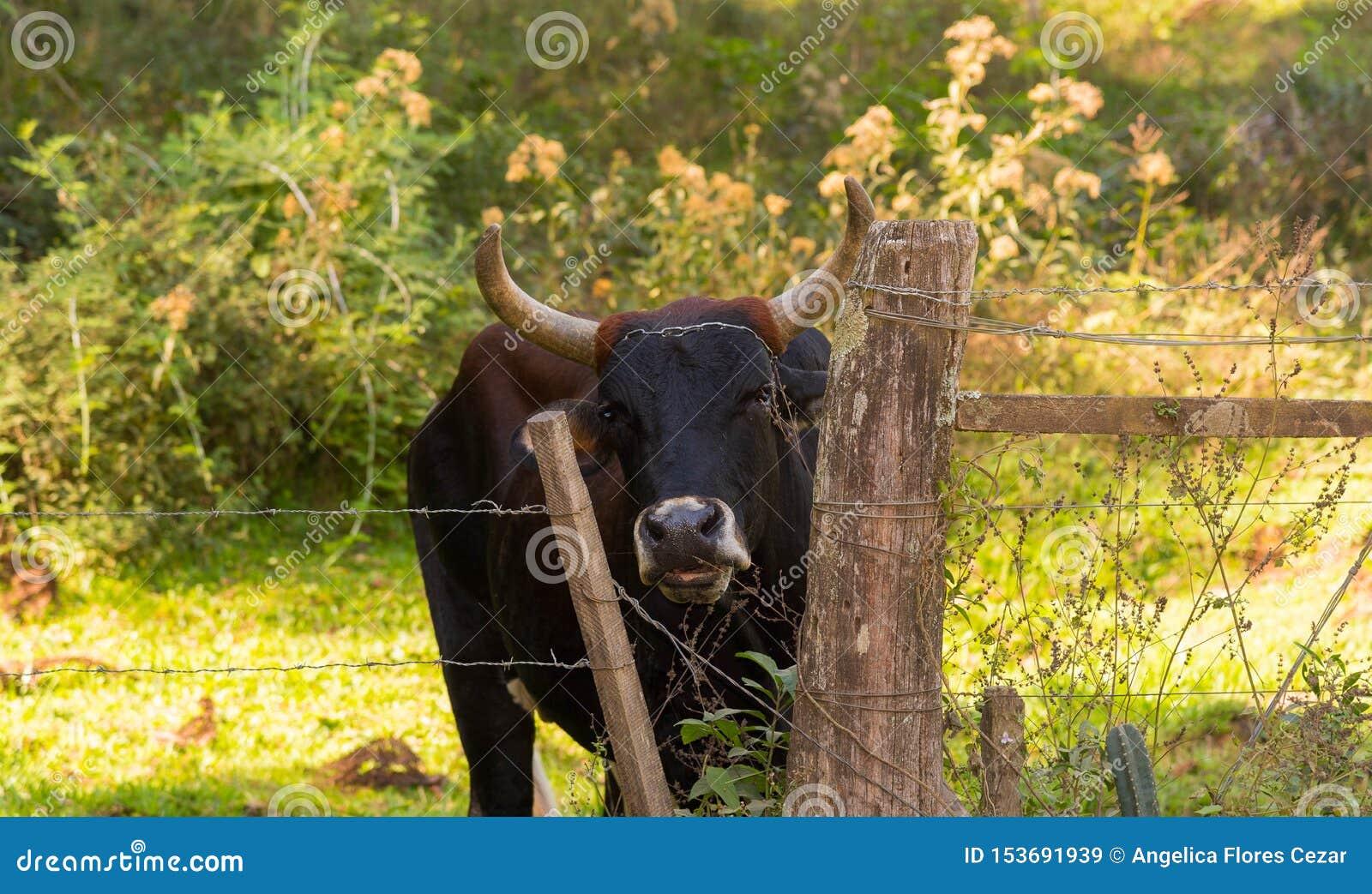 母牛的神色在Gateholder的