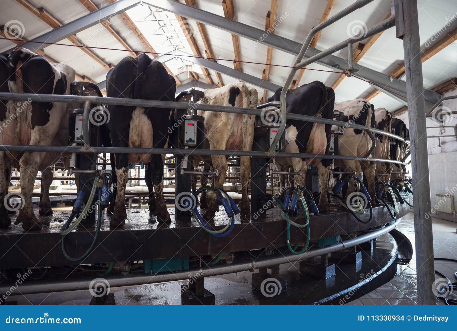 母牛的转盘挤奶厅,在奶牛场的挤奶设备