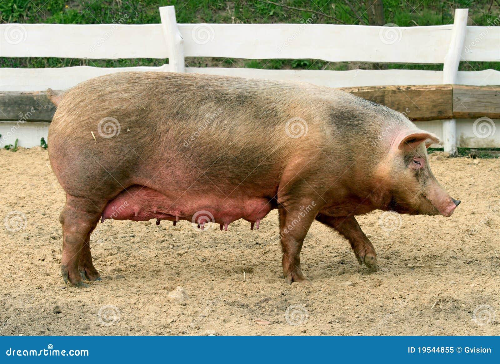 母猪 免版税库存照片 - 图片: 19544855图片