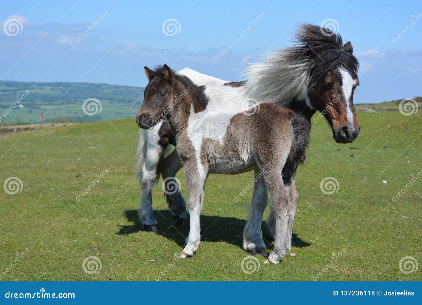 母马和逗人喜爱的驹在Whitchurch共同性,任意漫游
