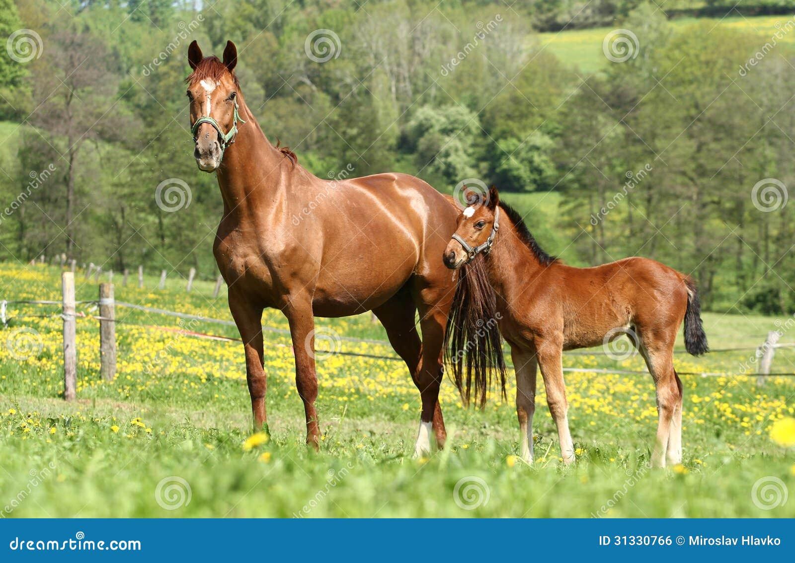 布朗母马和她的驹在牧场地.