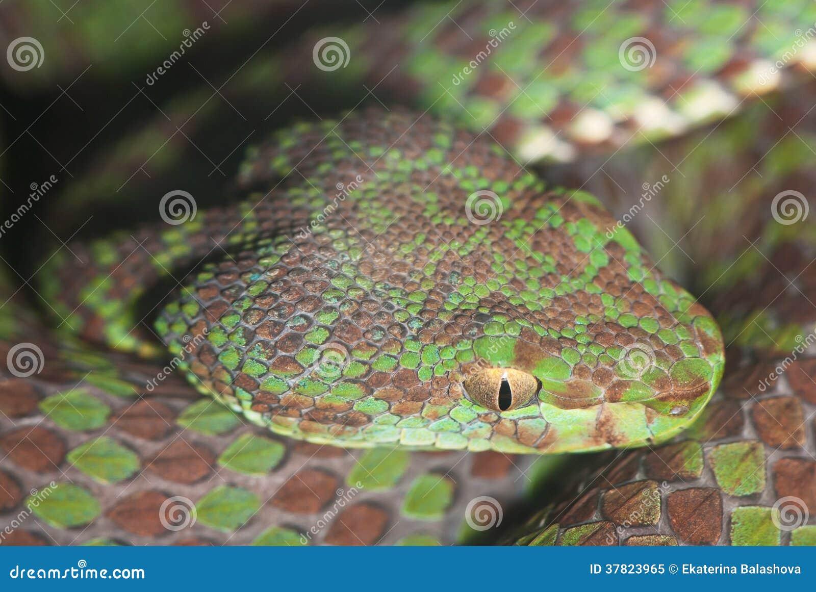 顶头褐色绿的毒蛇特写镜头.