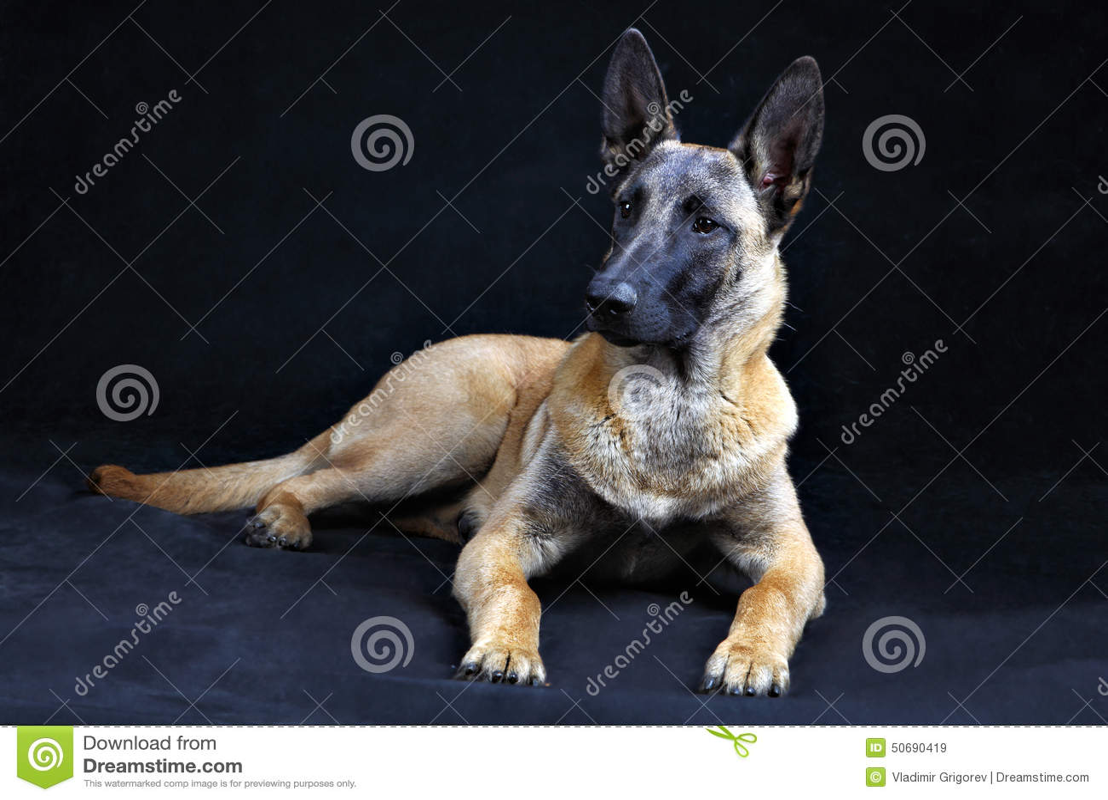 Download 比利时牧羊犬在灰色背景隔绝的Malinois, Studi 库存图片 - 图片 包括有 家谱, 宠物: 50690419