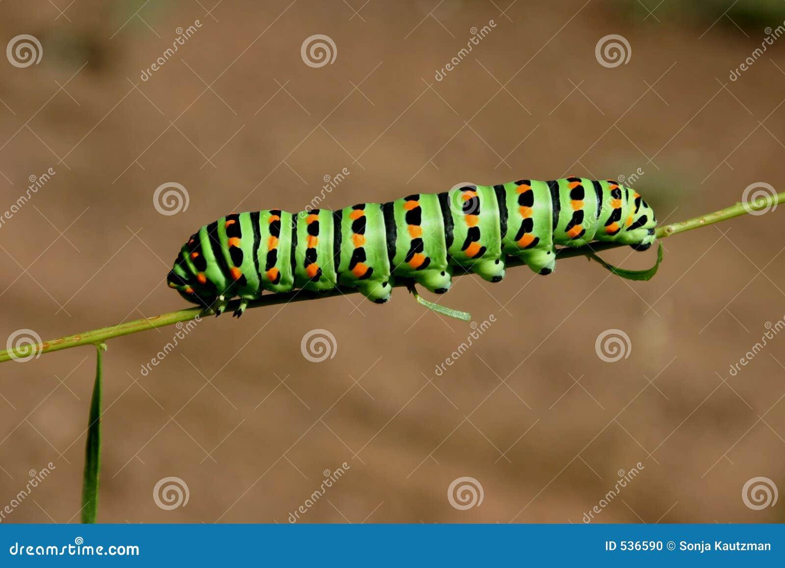 Download 毛虫绿色 库存照片. 图片 包括有 蝴蝶, 昆虫, 毛虫, 的百威, 外面, 蠕虫, 本质, 幼虫 - 536590