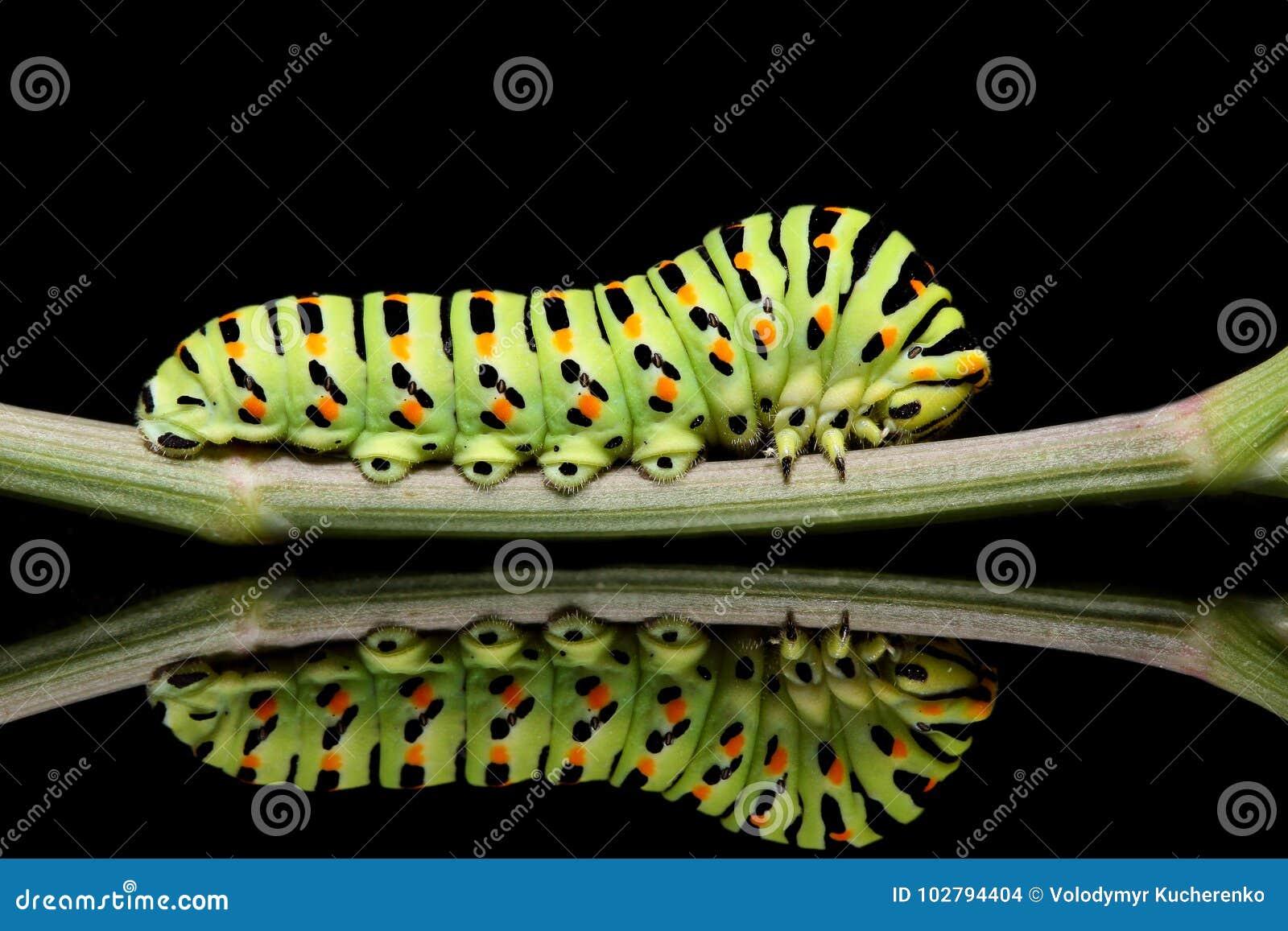 毛虫蝴蝶在黑背景的mahaon特写镜头与异常的反射